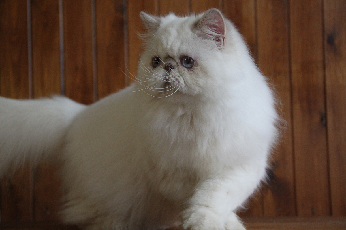 lilac lynx point persian