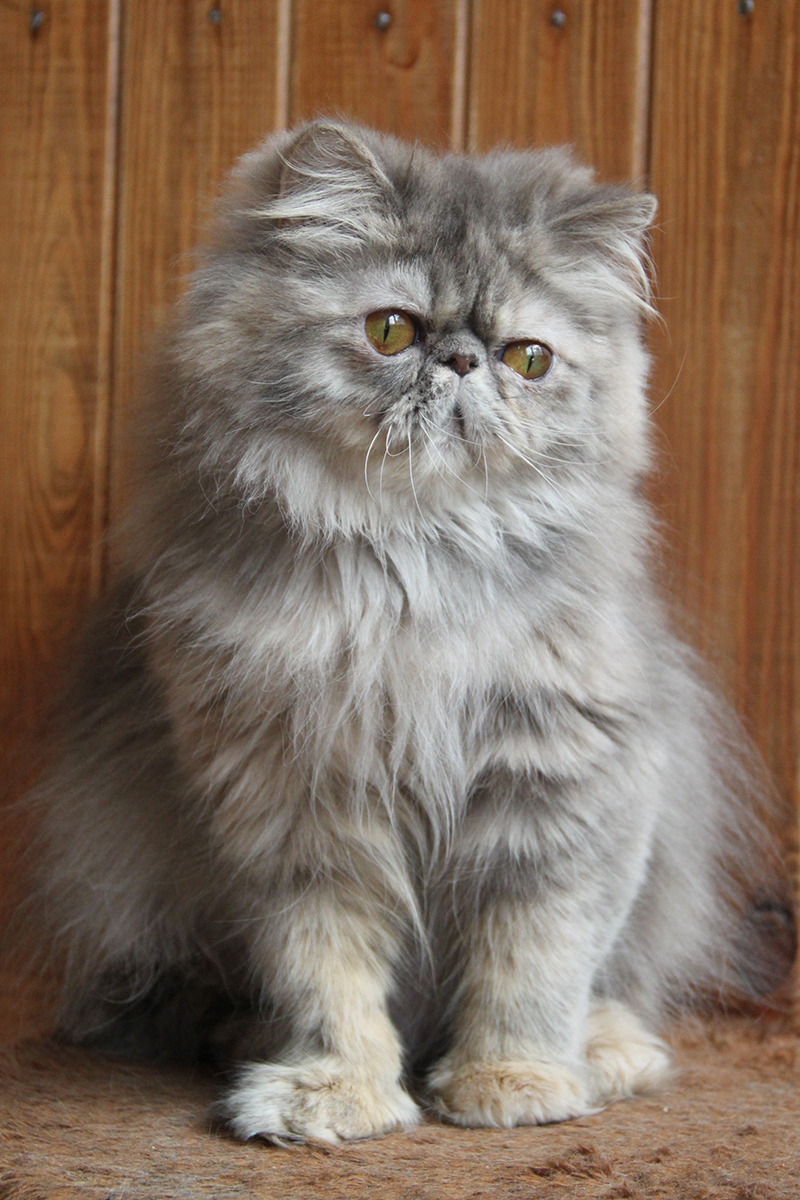 blue-cream tabby persian